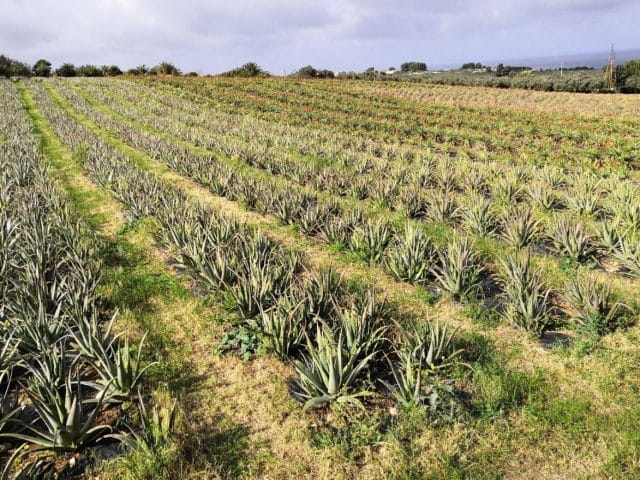 Coltivazione Vonderweid Aloe Vera biologica